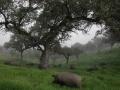 Montanera cerdos en la niebla.jpg